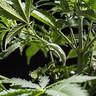 Planteclips til LST-plantetræning
