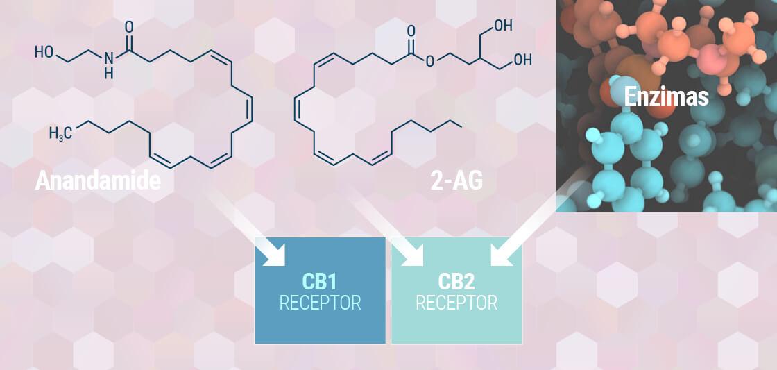 Forstå Dit Endocannabinoide System