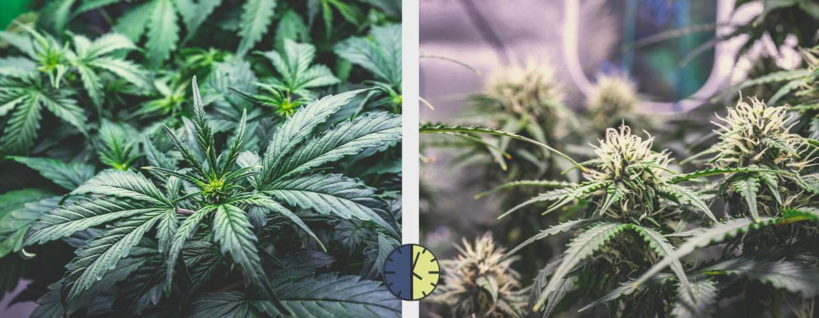 Fordele og ulemper ved automatisk blomstrende cannabissorter