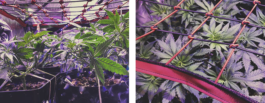 ENHANCE SCROG WITH OTHER CANNABIS TRAINING TECHNIQUES