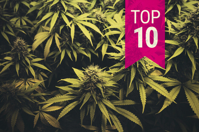 Top 10 Sativa-cannabissorter i 2020