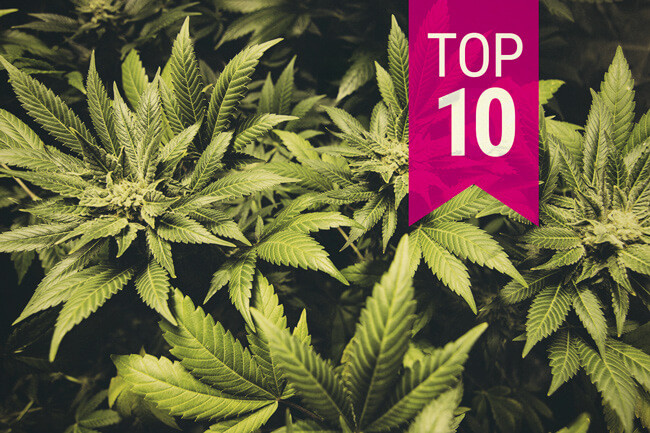 Top 10 Indica-cannabissorter i 2020